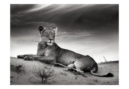 Fototapeta - Lwica w czerni i bieli